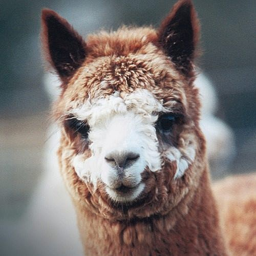 Alpaca Blends